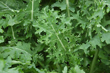 VEGETABLE  KALE BORECOLE WHITE RUSSIAN 1600 SEEDS