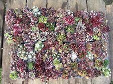96x Sempervivum Dachwurz große Vielfalt kräftige Rosetten in 96 Sorten! Hauswurz