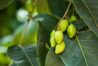 Terminalia chebula Chebulic Myrobalan Haritaki Tree Seeds Tropical Gardening