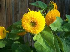 500 Sunflower Seeds Teddy Bear Sungold FLOWER SEEDS