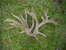 """TAXIDERMY Huge *21* POINT W/T DEER """"CUT"""" Velvet ANTLER/Double Main Beam Awesome!"""