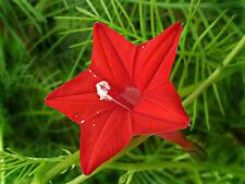 Seeds Quamoclit Red Flower Climbing Annual Beautiful Garden Cut Heirloom Ukraine