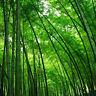 EB_ Lots 20Pcs Seeds Phyllostachys Pubescens Moso-Bamboo Seeds Garden Plants Dec
