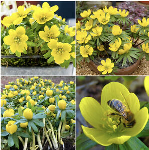 50 Winter Aconite  ERANTHIS HYEMALIS Available Now Ready For Planting