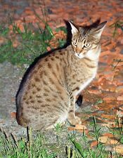 METAL REFRIGERATOR MAGNET Brown Spotted Ocicat Cat Sitting On Rock Cats
