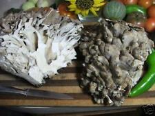 Maitake Mushroom Plug Spawn 100 Plugs ~ Hen of the Woods ~ Mycelium Log Grow Kit