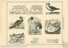 Echassiers Oie Canard Mouette Cormoran Wader Duck Goose Gull GRAVURE PRINT 1884