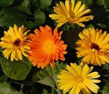 100 Samen Ringelblume Calendula officinalis bunte Mischung