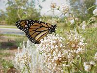 10 SEEDS - Asclepias fascicularis - California Narrowleaf Milkweed - FREE S&H!
