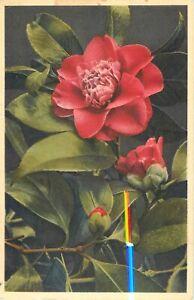 """Camellia Thea Japonica Kamelie Vintage Postcard 3.5"""" x 5.5"""" Flowers 1967"""