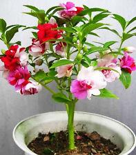60 Colorful Garden Balsam Seeds Impatiens Balsamina Garden Flowers