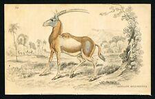 Blackbuck, Indian Antelope, Bezoartica, Hand-Colored Plate - Jardine 1836