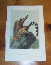 Audubon. Quadrupeds. Octavo. Ring Tailed Bassaris.