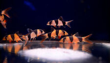 "Live Peaceful Freshwater Fish - 3x 1.5"" Clown Loach (Tiger Botia) - Snail Eater!"