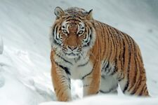 """perfect 36x24 oil painting handpainted on canvas """"tiger in the snow"""" NO14080"""