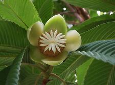 Dillenia indica - Elephant Apple - Rare Tropical Plant Tree Seeds (5)