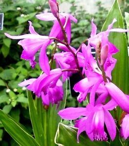 Bletilla striata Purple Freilandorchidee Winterhart bis ca. minus 20-25 Grad