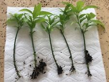 5 Cuttings Organic Clinacanthus Nutans Sabah Snake Grass Leaves You Dun Cao 优顿草