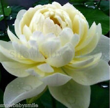 10 Light Yellow Lotus Seeds Water Lily Pad Nymphaea Nelumbo Nucifera Pond Plant