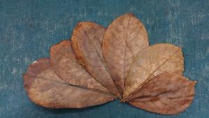 25  pcs Best Catappa Ketapang Indian Almond Leaves Shrimp Betta Discus Cichlid