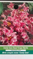 Candy Cane Dwarf Crape Myrtle 5gal Tree Flower Plants Plant Garden Healthy Trees