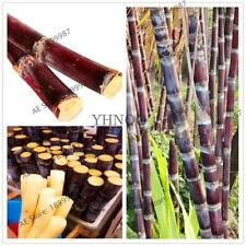 Succulent sugar cane 100 particles delicious Vegetable and fruits seeds Are rich