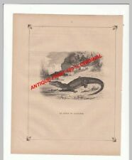 Alligator Caiman ANTIQUE PRINT XIX