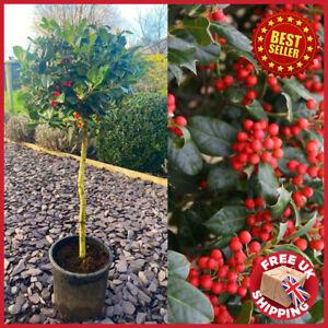 Large Standard Lollipop Holly Tree Ilex Nellie Stevens 100-120cm tall 12L pot