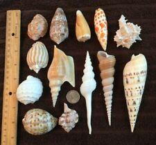 Lot of (13) sea shells