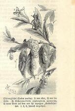 Stampa antica INSETTI Ledra aurita INSECTA 1891 Old antique print