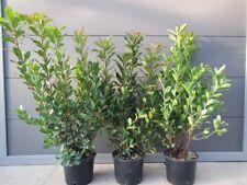 Arbutus unedo - westl. Erdbeerbaum - winterharte Pflanze 40-60cm Früchte