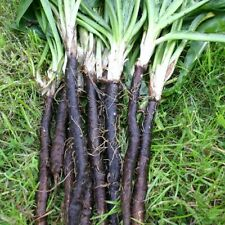 Seeds Salsify Medical Black Root Vegetable Organic Heirloom Russian Ukraine