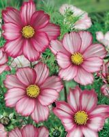 Cosmos- Picotee Mix- 100 Seeds- BOGO 50% off SALE