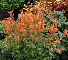50+ AGASTACHE ARIZONA SUNSET FLOWER SEEDS / PERENNIAL / LONG LASTING