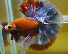 <Have video> BETTA FISH FANCY ROSE TAIL OVER HALF MOON (OHM) MALE