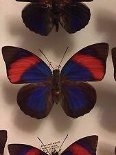 Agrias narcissus obidonus female