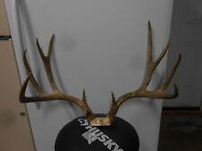 26 2/8 wide 6x5 Colorado Mule Deer Rack antlers whitetail sheds taxidermy elk