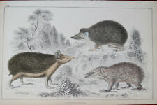 Antique Book Plate Showing 3 Opossum Like Animals - Hand Colored - A Fullerton