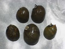 Formosa/shells/Clithon corona 16~21mm.w/o.Taiwan