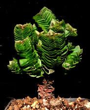 "Crassula cv ""Buddhas Temple"" f. monstruosa       we / own roots"