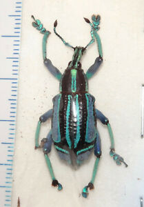 Eupholus bennetti 28mm Papua New Guinea #40J Weevil Beetle Insect EXTREME FORM