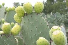 1 Cutting, Cactus Pad, White Fruit Prickly Pear, Opuntia ficus indica