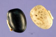 15 Mucuna Pruriens Velvet Bean SEEDS Cowitch