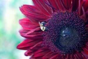 25 Chocolate Cherry Sunflower Seeds Heirloom NON-GMO Fresh Seed for Your Garden