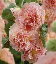 30+ SALMON GIANT DANISH DOUBLE HOLLYHOCK  FLOWER SEEDS / PERENNIAL