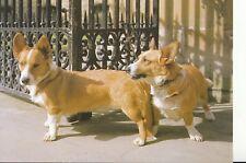 Animal Postcard - Two Corgi Dogs - Ref AB3028