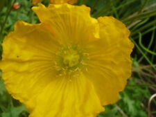 Papaver Meconopsis Yellow Welsh Poppy 500+ Seeds  *Shelley aka PoppyQueen👑