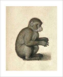 Durer - Monkey, 1520 fine art giclee print poster wall art various sizes