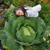 1 Pack 50 Rare Giant Russian Cabbage Seeds Healthy Organic Vegetable S052
