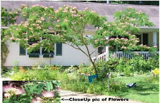 Mimosa Tree Grows Wild Sweet Smelling Flowered Blooms  10 + Seeds